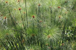 7563472-Papyrus-grass-Stock-Photo